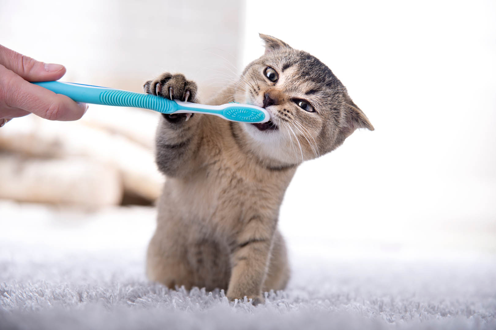 Tannrens for katt