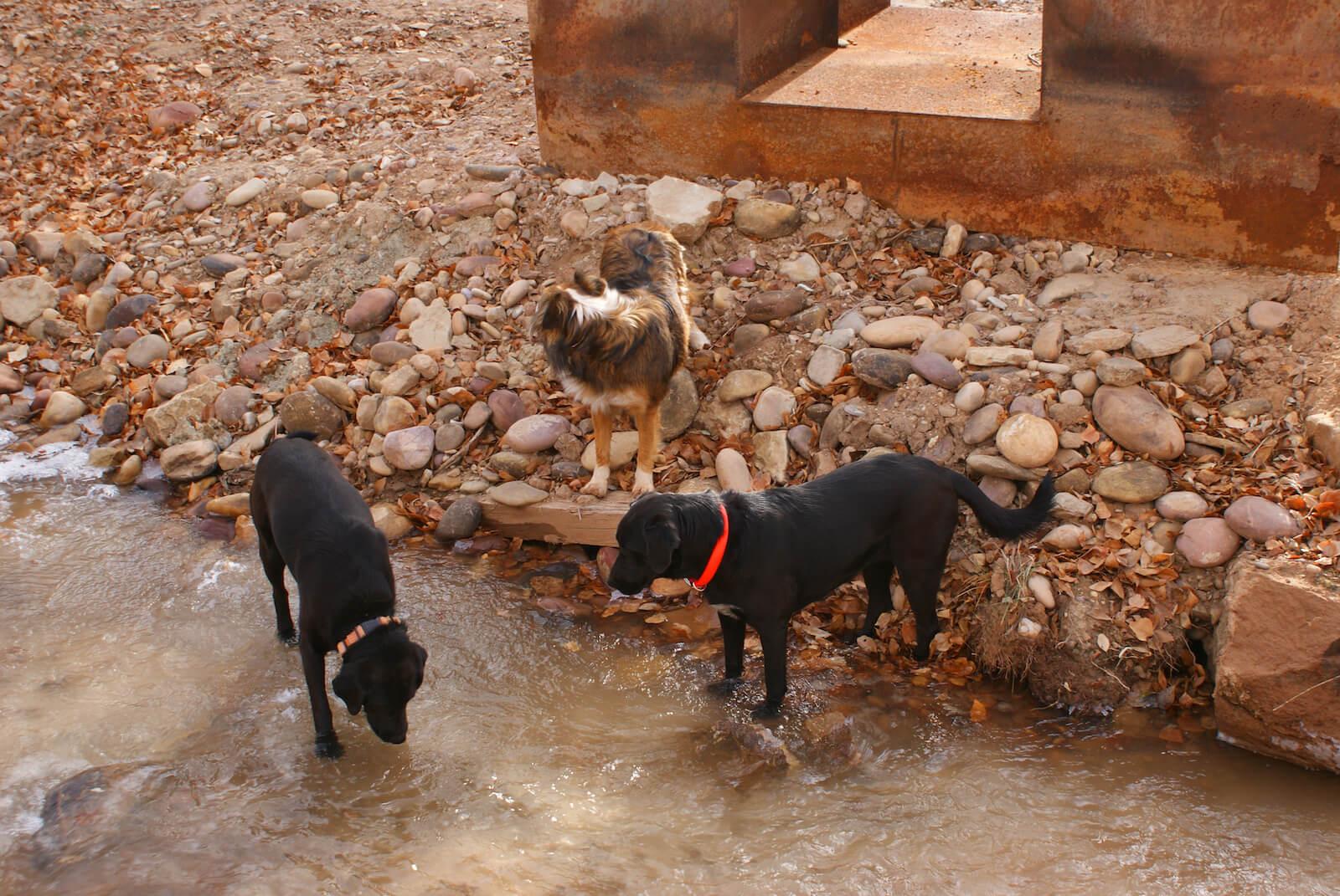 Ranch Dogs Near Water Channel