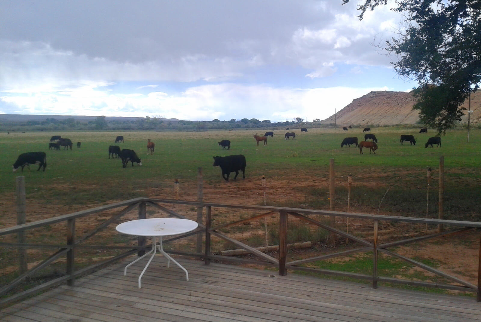 Grazing Cows at Homestead One