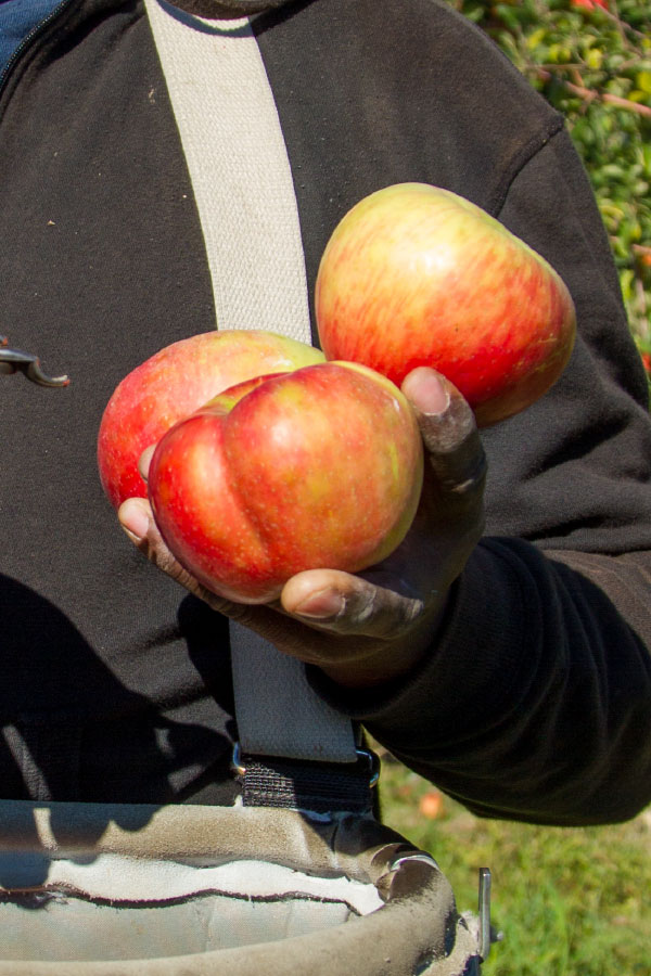worker holdin apples