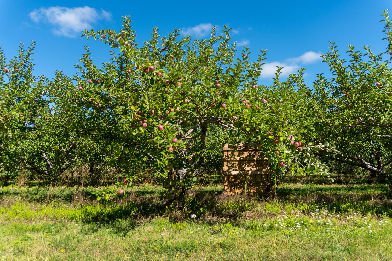 apple gree in orchard
