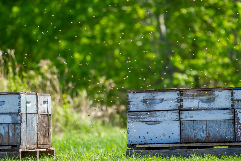 Bees making honey