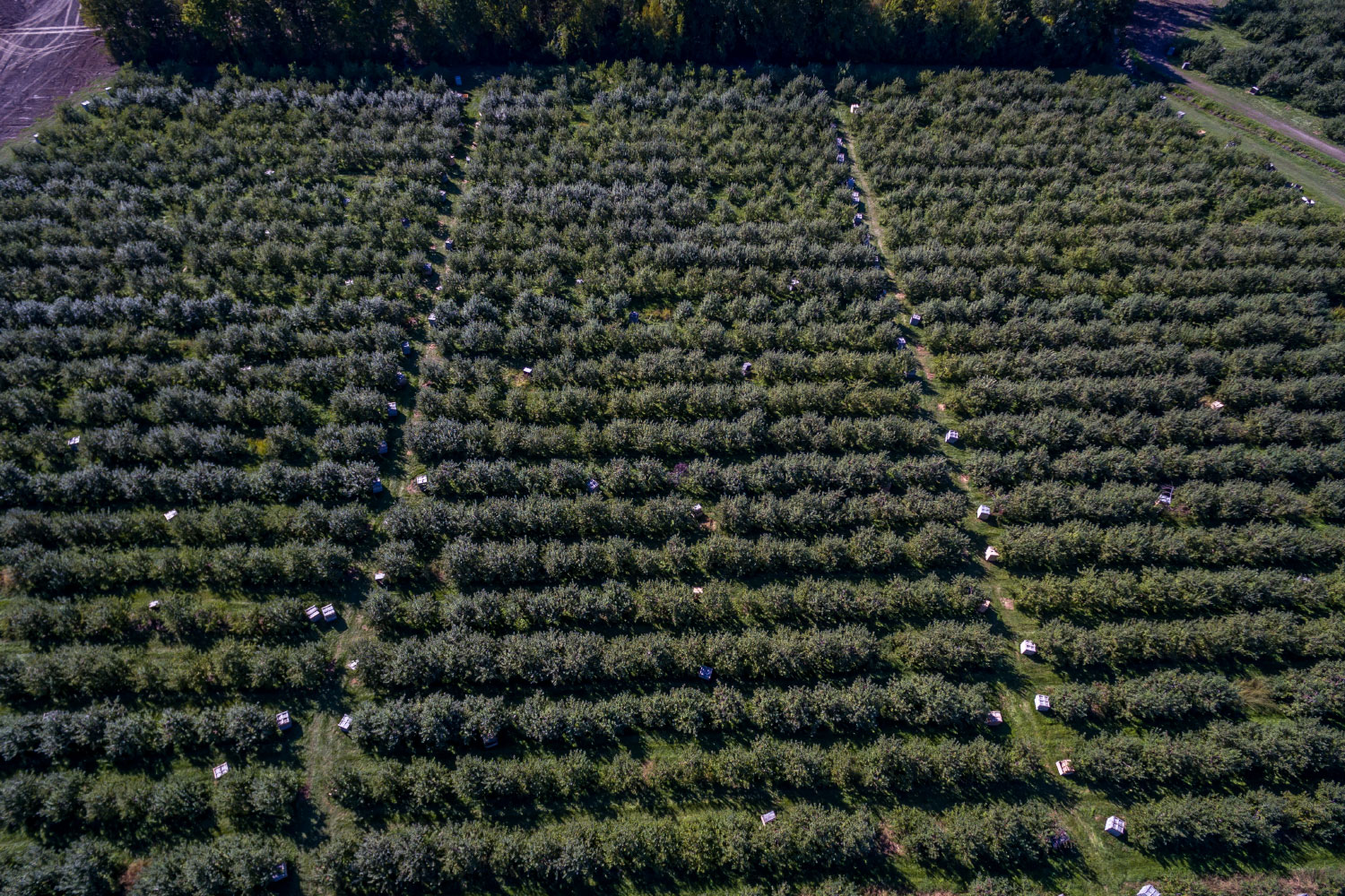 wide view of bird's eye view of orchards