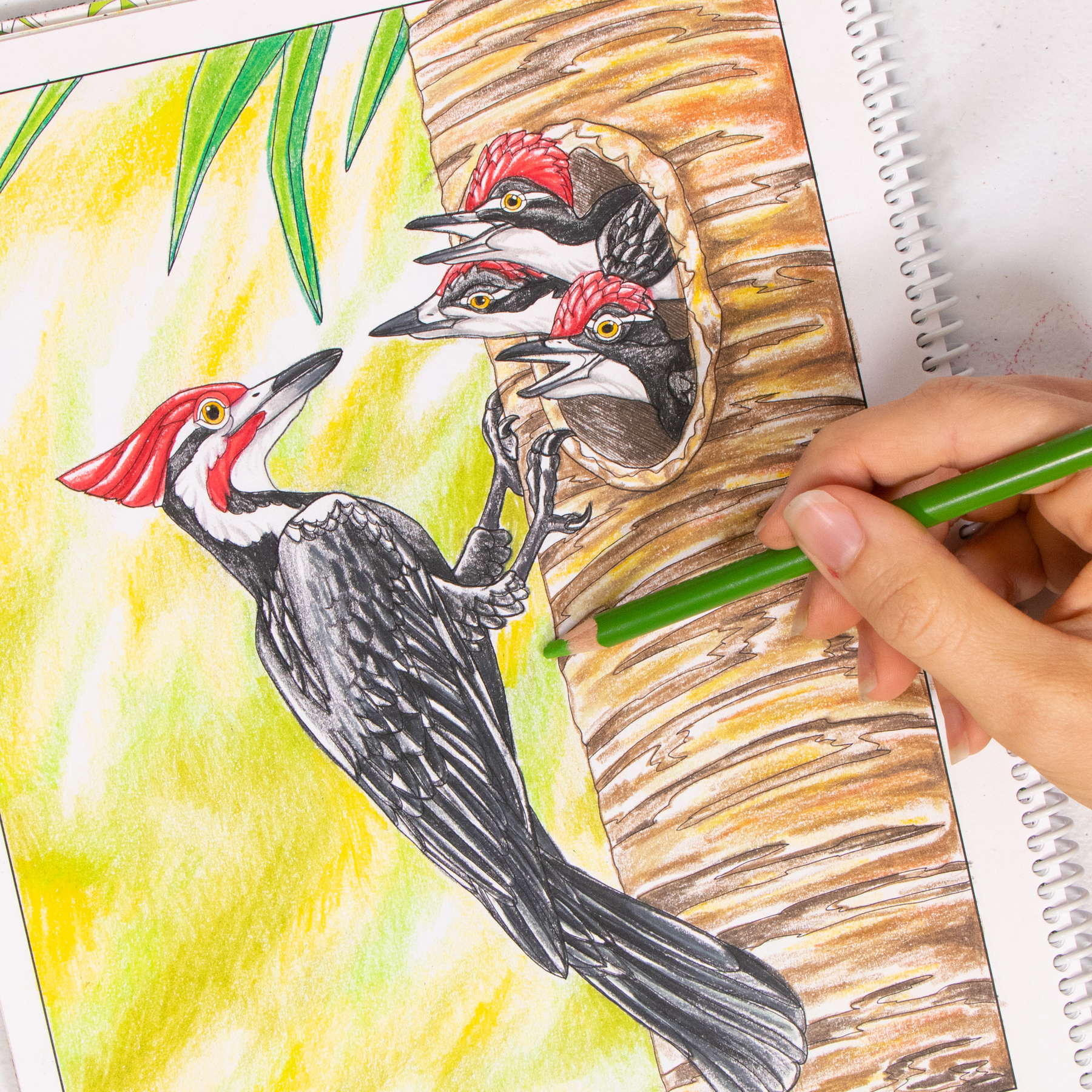 Pileated Woodpecker coloring page Wild Florida