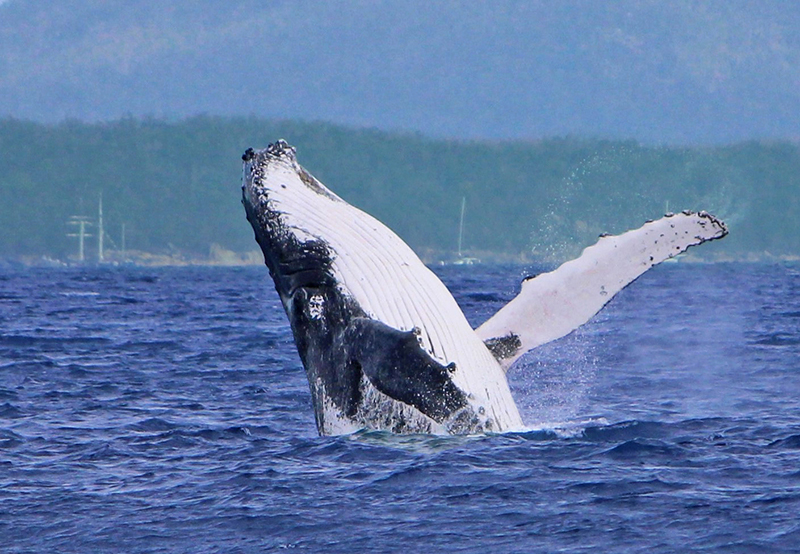 The Whales Are Here!  First Whale Of The Season Spotted In Whitsunday Waters
