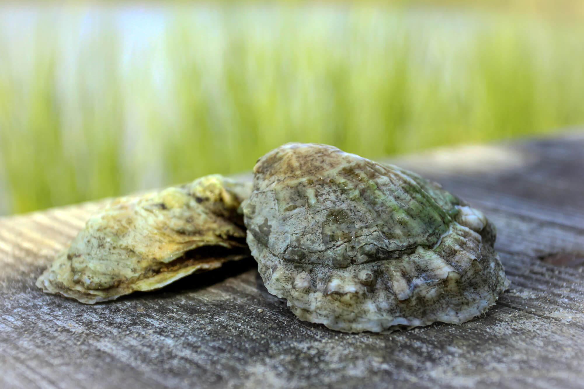 Malabar Oysters
