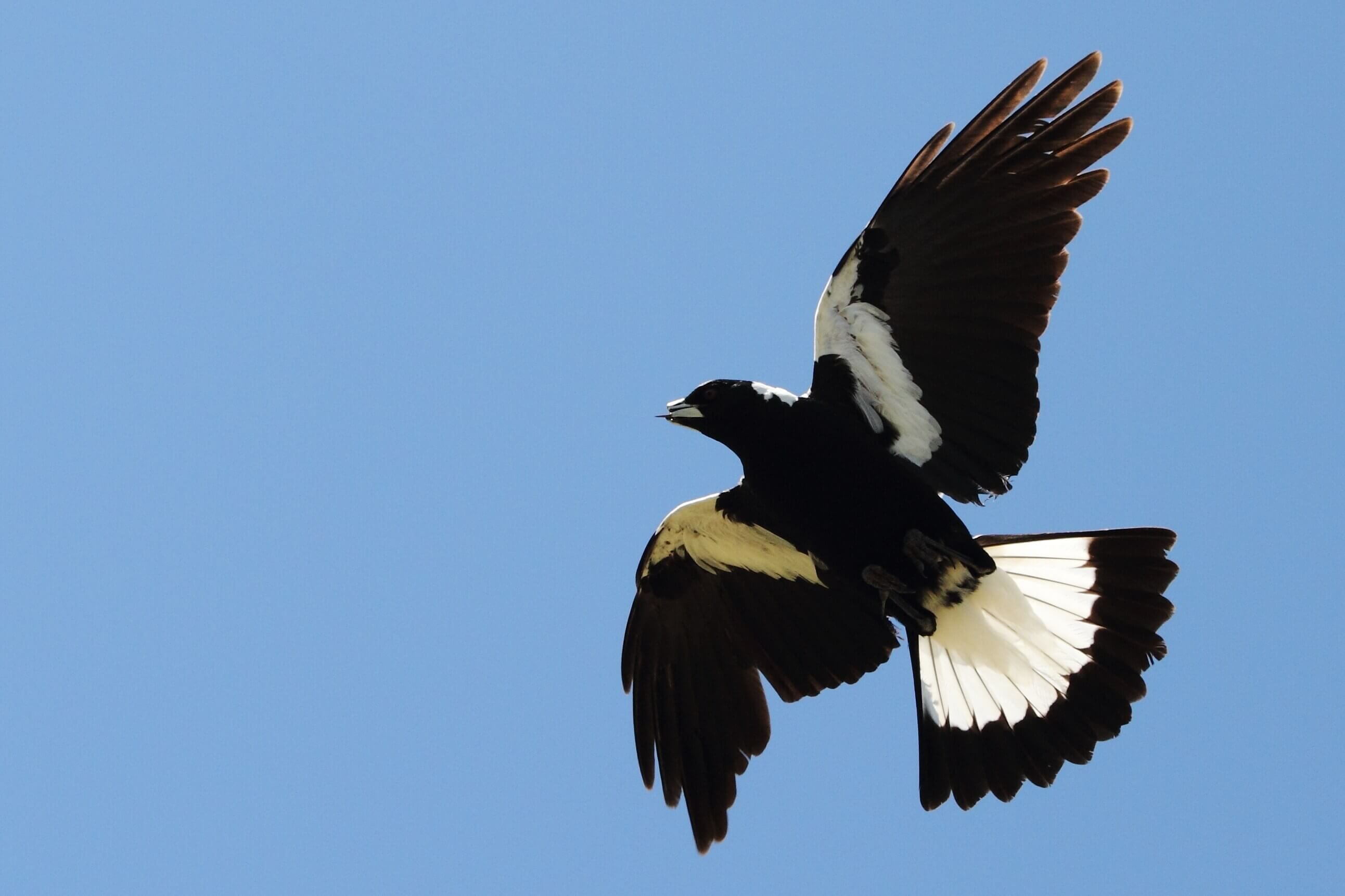 Swooping magpie Perth