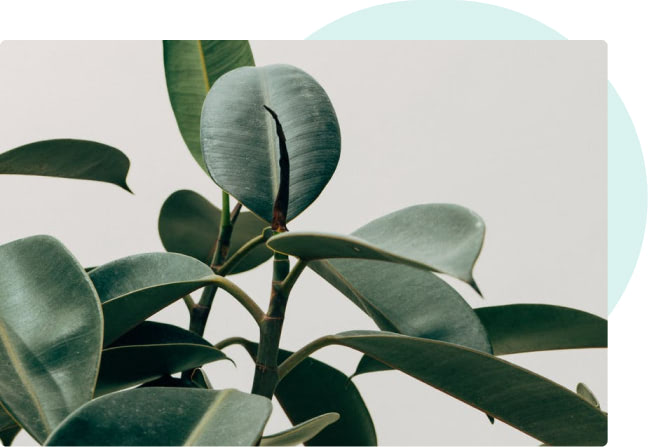 Close-up photo of a house plant with dark green leaves