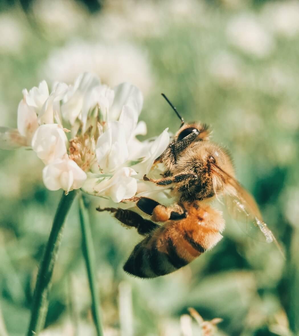 Biene an weißer Blume