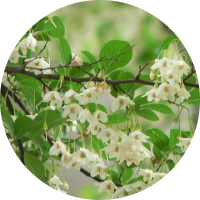 a branch of bezoin tree with a cluster of white flowers