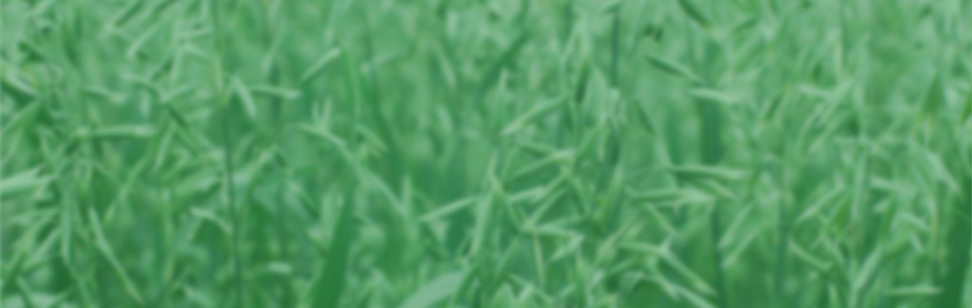A close up field of oat plants