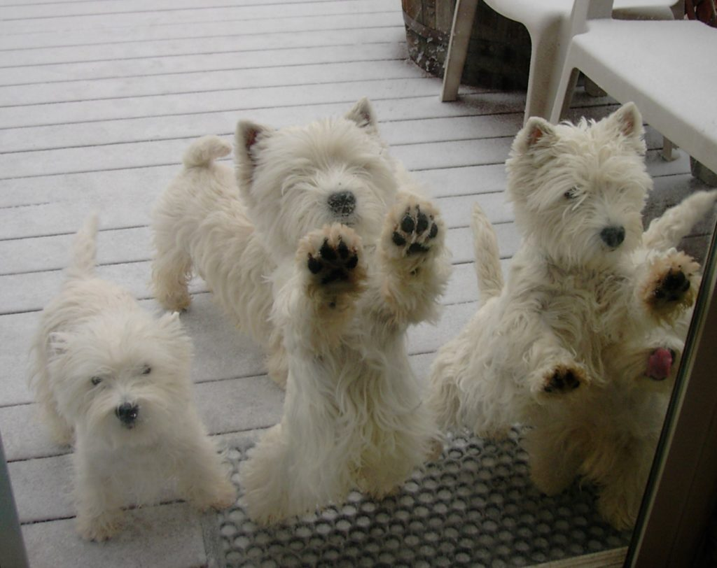 Westies on a porch