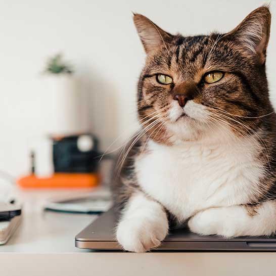Auf zugeklapptem Laptop liegende Katze