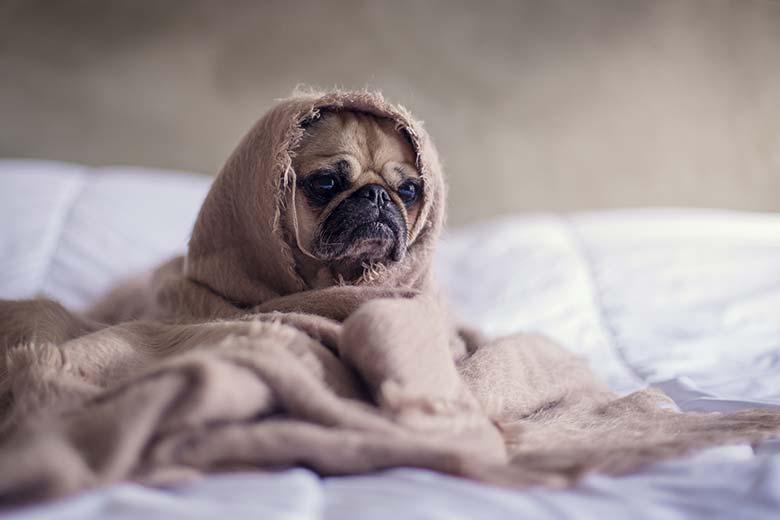 In Decke eingehüllter Mops auf Bett