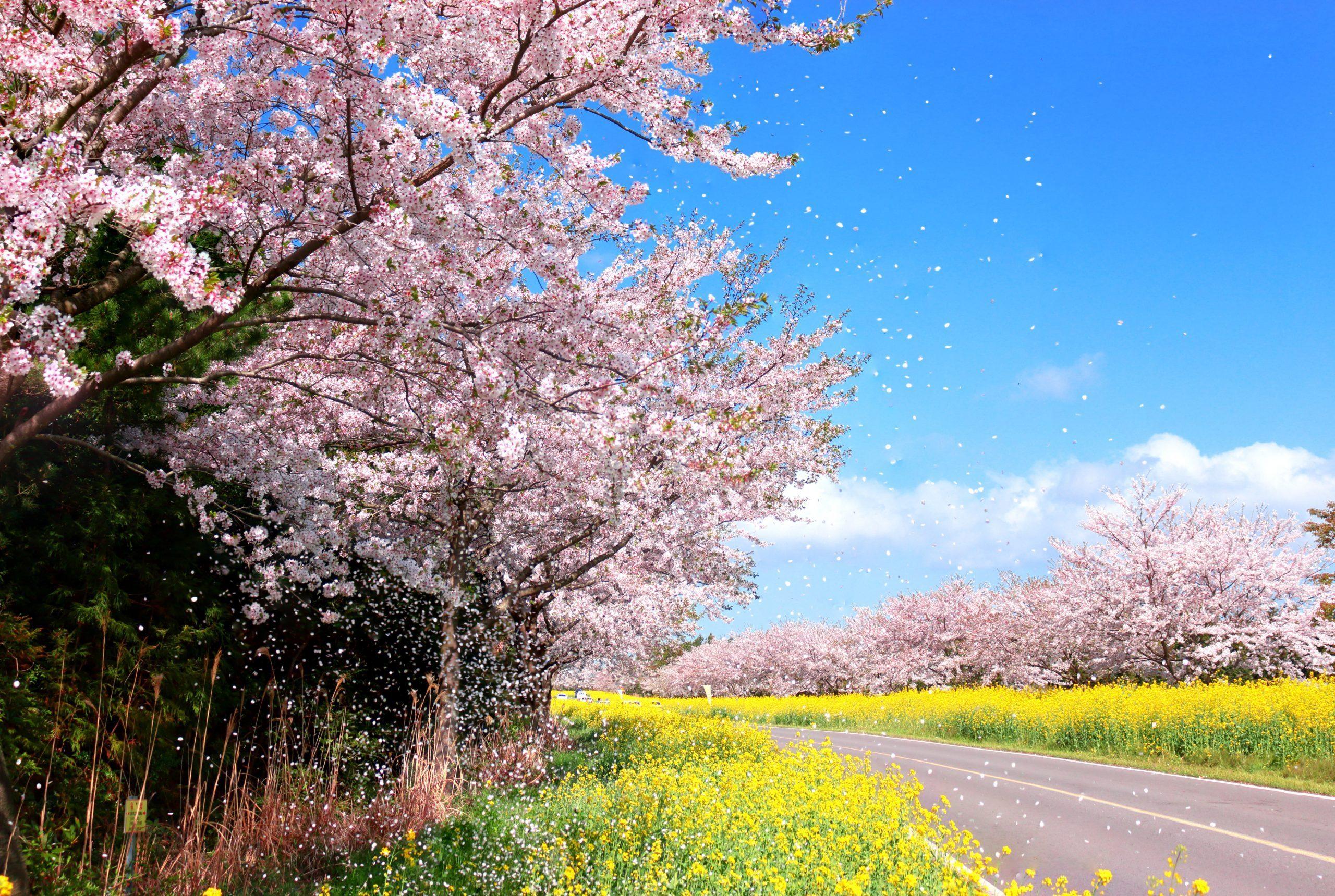 صور للربيع من أرجاء كوريا
