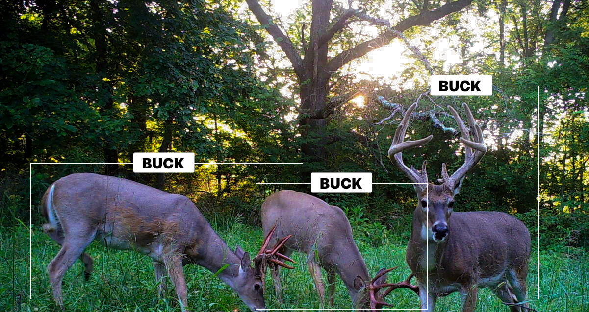 Trail camera image showing photo recognition of white-tail deer.