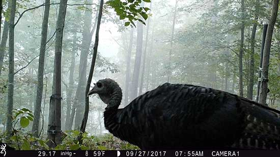 A trail camera photo of a turkey in the morning fog