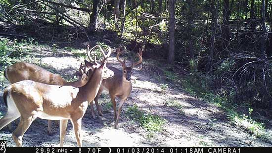 A bachelor group of white-tail bucks
