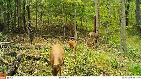 Two does and a fawn in the woods