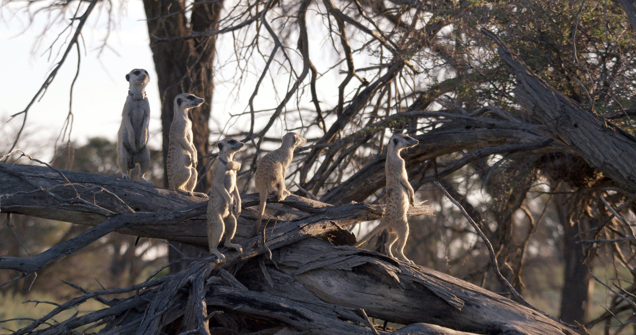 five meerkats stand on a branch look towards the right, two have collars on them