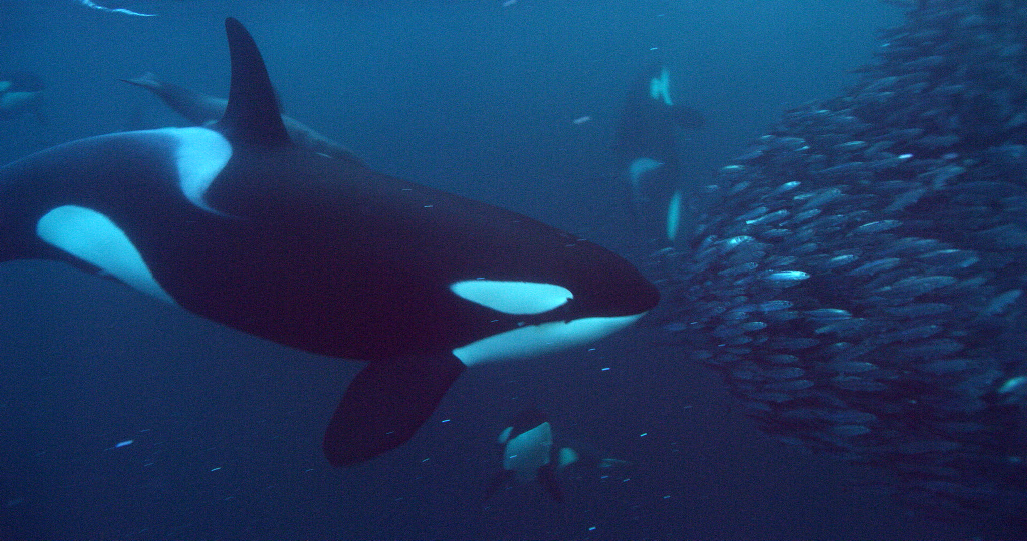 an orca in the ocean swimming towards a school of fish on the right
