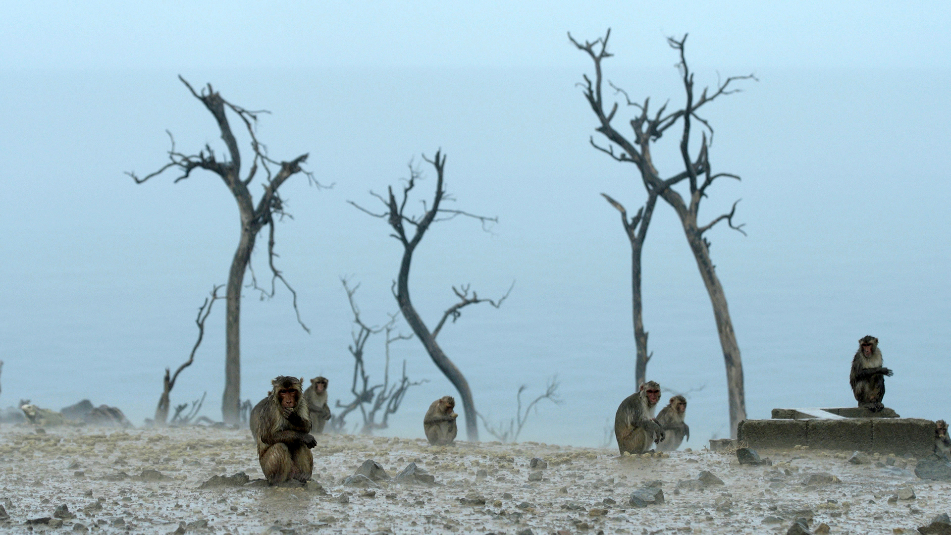 foggy barren landscape, one macaque in foreground, two macaques in middle, and three macaques in the background in front of six tree trunks