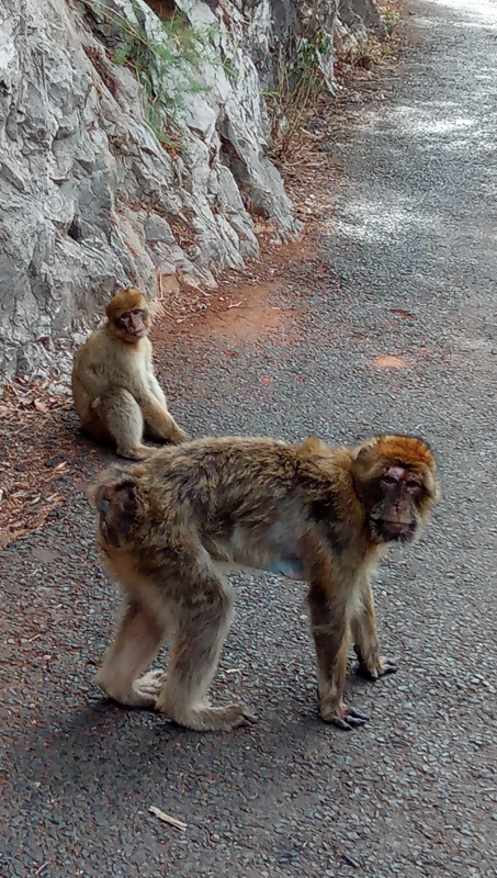 Two monkeys on the streets of gibraltar