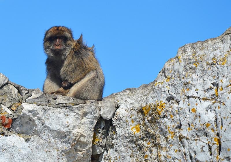 Monkeys of ggibraltar