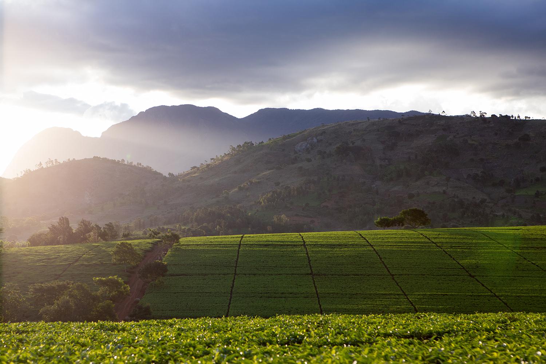 sunset over mulanje, malawi tea estate