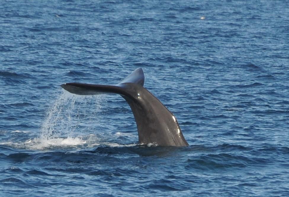 A sperm whale diving
