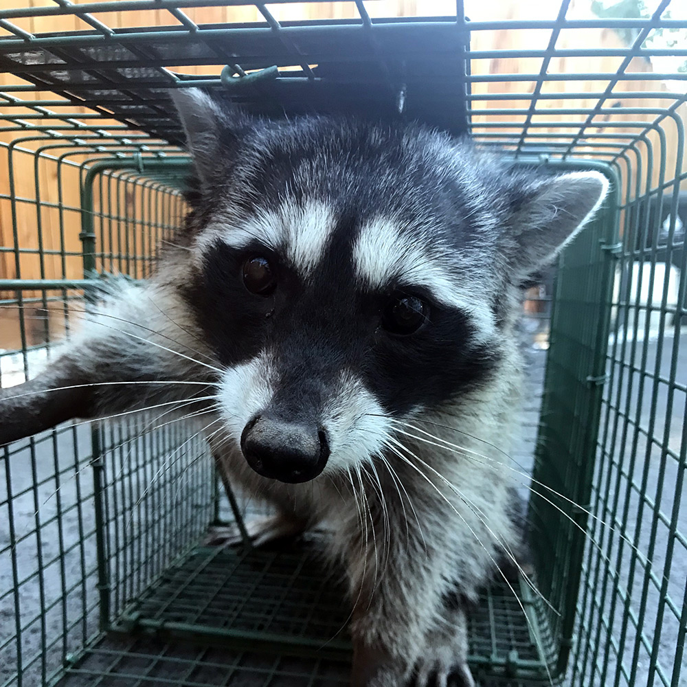 A raccoon trapped in a cage.