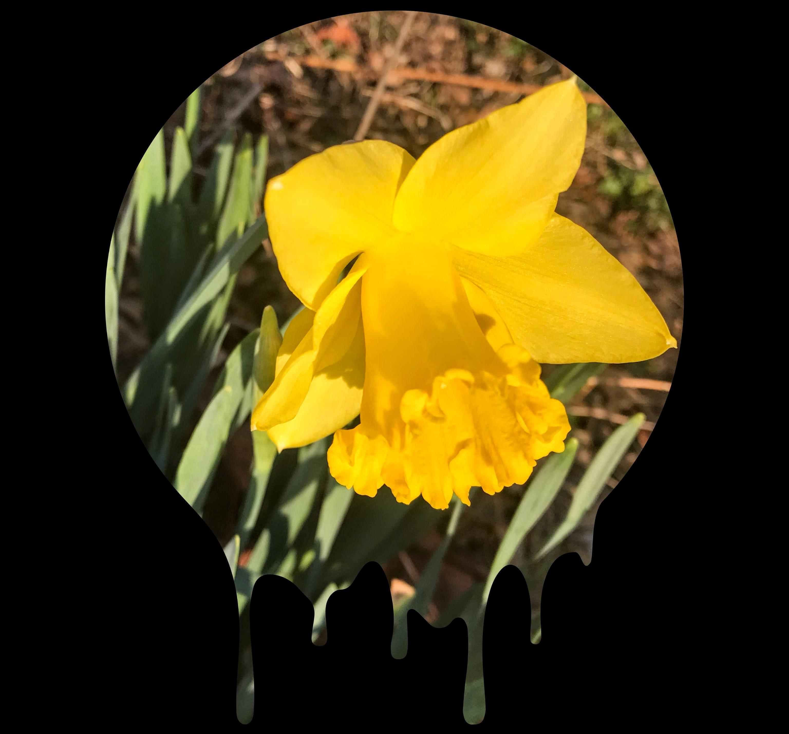 ©Spring Daffodil