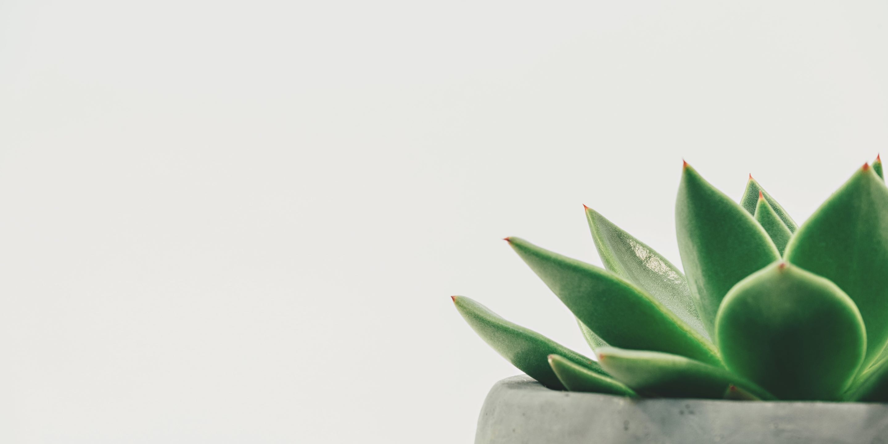 Photo of a potted succulent plant
