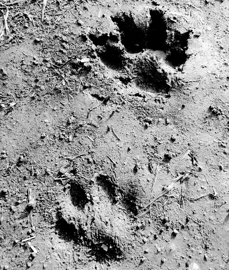 Footprint of a bear