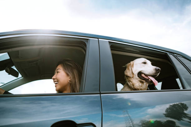Young Woman Drives Car With Dog in Back Seat A happy Korean woman enjoys spending time with her Golden Retriever while driving her vehicle on a sunny day. Making fun travel memories together.