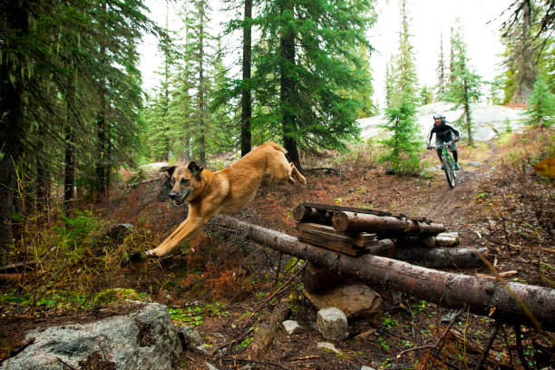 A man on a cross-country style mountain bike riding behind his dog that is jumping over a pile of logs in the forest