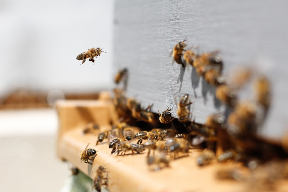 Swarm of bees flying in and out of a crack in the wall
