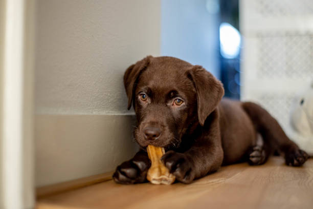 Chocolate labrador puppy lying and chewing a dog bone
