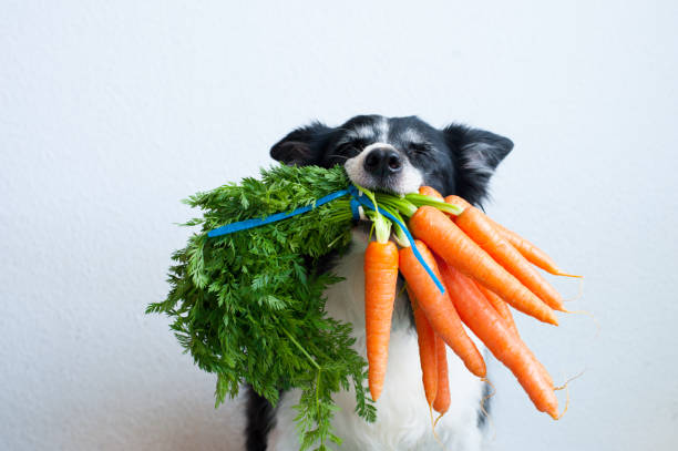 Black and white long haired dog with bunch of carrots in mouth.