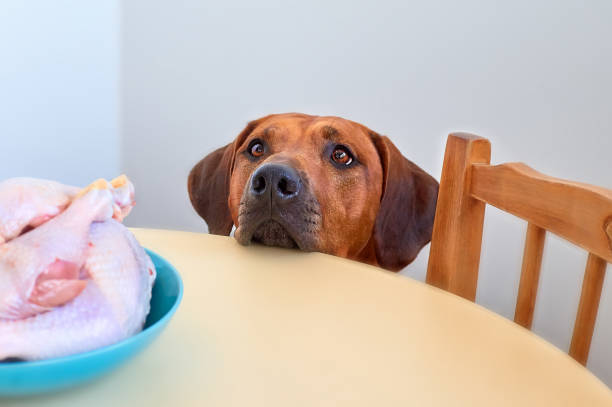Dog sitting behind the kitchen table and looking at raw chicken meat Dog sitting behind the kitchen table and looking at raw chicken sitting in a blue bowl on a table