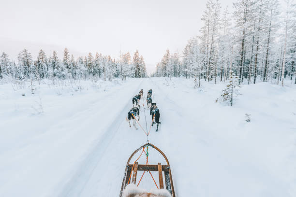 Husky dog sledding in Lapland, Finland Huskey dogs sledge safari ride at sunset in winter wonderland, Levi, Lapland, Finlad sled dog stock pictures, royalty-free photos & images