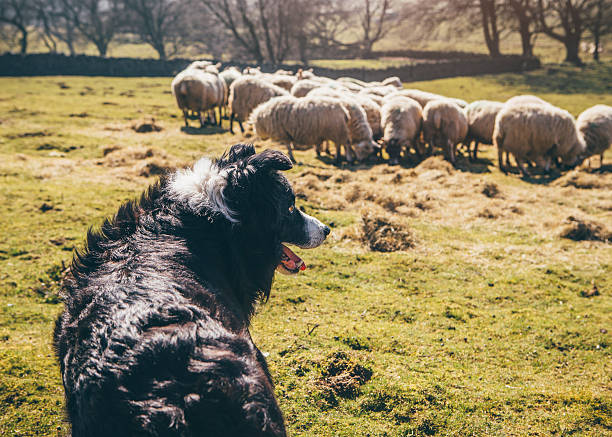 Sheepdog Watching Over Sheep in a Field Border-Collie sheepdog watching over a flock of sheep in a field. herding dog stock pictures, royalty-free photos & images