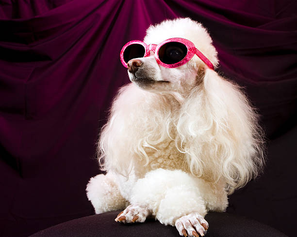 Movie Star Poodle Striking a Pose A glamorous, well-groomed poodle in sunglasses strikes a pose with her paws crossed and her nose in the air--much like a vain movie actress or fashion model might do. actor dog stock pictures, royalty-free photos & images