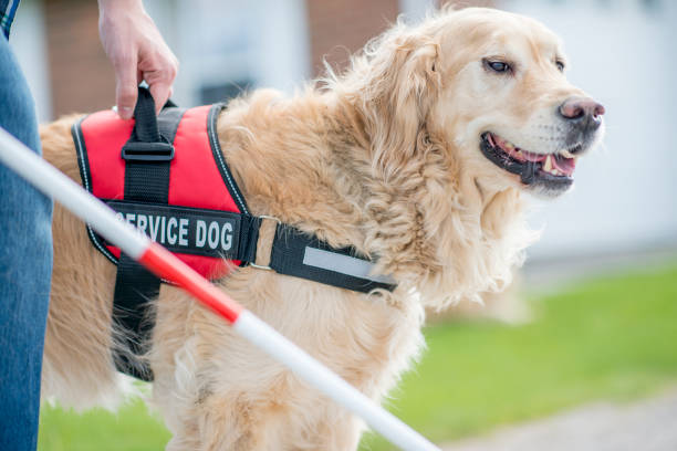 Helpful Dog A blind man and his golden retriever dog are outdoors on a sunny day. The service dog is helping his owner move around. service dog stock pictures, royalty-free photos & images
