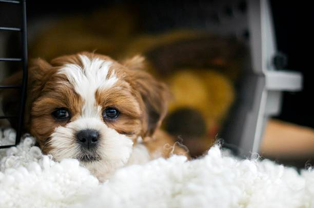 Puppy in a crate Dexter, the 8 week old bichon/shih-tzu puppy hanging out in his crate dog crate stock pictures, royalty-free photos & images