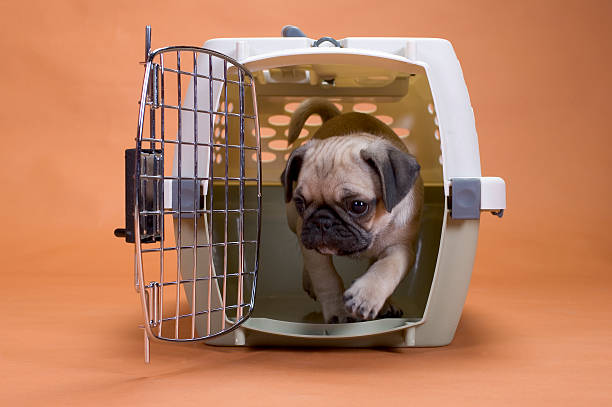 Pug dog in a travel crate a pug puppy leaving his crate dog crate stock pictures, royalty-free photos & images