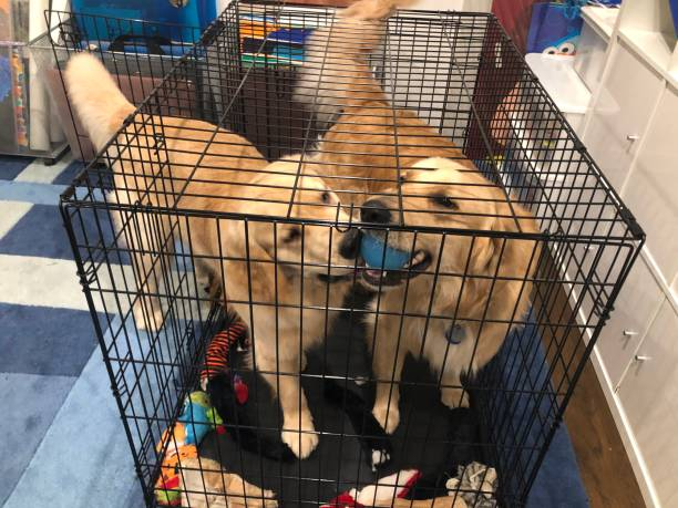 Golden Retriever Playful Golden Retrievers brothers playing with a ball in a crate. dog crate stock pictures, royalty-free photos & images