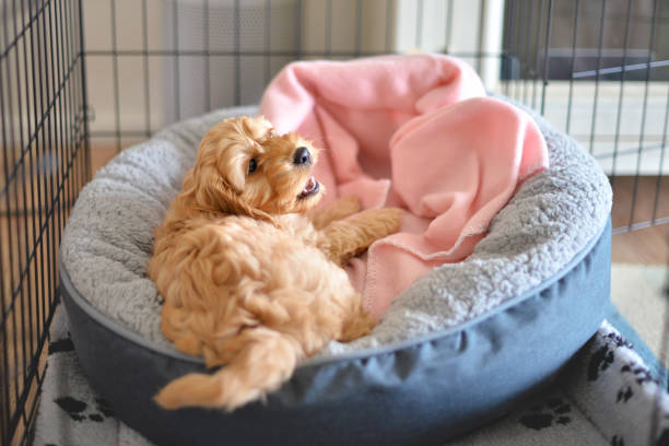 Crate training puppy Cockapoo or Spoodle puppy crate training dog crate stock pictures, royalty-free photos & images