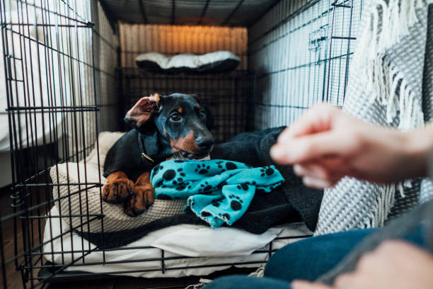 Time to Get Up! Doberman puppy laying in its bed inside a dog cage in the morning. It's in the North East of England. It's being let out. dog crate stock pictures, royalty-free photos & images