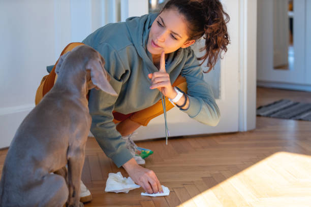 Scolding her Weimar puppy for peeing on the floor Weimaraner puppy being punished for peeing at home by his owner, they are both quaraneted during covid-19 outbreak dog training stock pictures, royalty-free photos & images